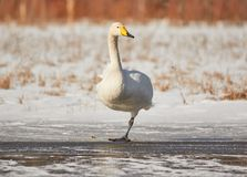 Swan standing on one leg Royalty Free Stock Photo