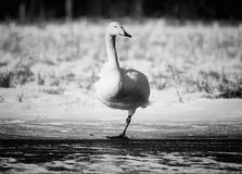 Swan standing on one leg Stock Photo