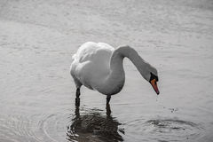 Swan standing up. Looking for food Royalty Free Stock Photography