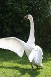 Swan standing up Stock Photo