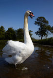Swan standing in a water and hiss Royalty Free Stock Photos