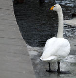 A swan stands by thinking Stock Photography