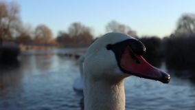 Swan staring you out stock video