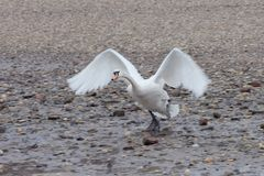 Swan starting. A picture of a mute swan starting royalty free stock photos