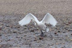 Swan starting Royalty Free Stock Photos