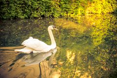 A swan in a stream in france. This image features a swan in a stream in france stock photography