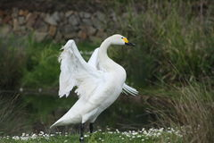 Swan stretches its wings. Swan stretching their wings to show their partner on the grass next to the pond Stock Images