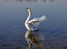 Swan stretching its wings Royalty Free Stock Photos