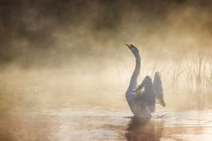 Swan stretching its wings on River Avon on a misty morning stock images