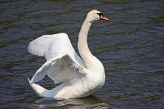 Swan Stock Photography
