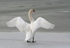 Swan stretching out its wings on a frozen lake. White swan stretching out its wings, frozen lake in the background. Shot in the evening Royalty Free Stock Images