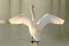 Swan stretching out its wings at sunset Royalty Free Stock Photo