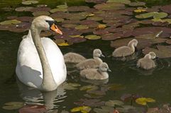 Swan stroll. Parent with baby swans swimming in a lake with water lilies leaves stock image