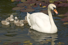 Swan stroll. Parent with baby swans swimming in a lake with water lilies leaves royalty free stock photography