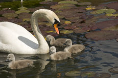 Swan stroll. Parent with baby swans swimming in a lake with water lilies leaves stock photos