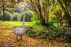 Swan Stroll in Autumn Park stock photo