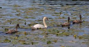 Swan stroll Royalty Free Stock Photos
