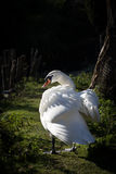 Swan in the sun Royalty Free Stock Photo