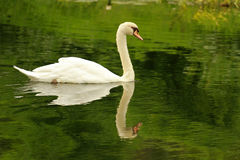 Swan, Sun City Stock Photography