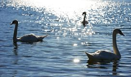 Swan on sunny lake in Italy Royalty Free Stock Photography