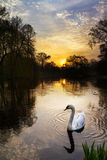 Swan sunrise Royalty Free Stock Photography