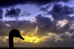 Swan with sunrise over the ocean before storm in background. / Lanzarote / Canary Islands Royalty Free Stock Image