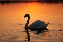 Swan at sunset Stock Image