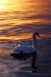 Swan at the sunset Royalty Free Stock Image