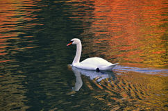Swan at sunset. Swan swimming on the lake at sunset Stock Photography