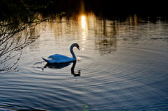 Swan at sunset Stock Images