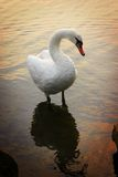 Swan at Sunset. A white swan on the edge of a lake at sunset with reflections in the water and orange light Stock Photo