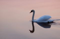Swan at sunset 7785 Royalty Free Stock Image