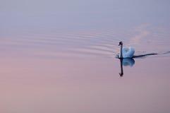 Swan at sunset 7793 Stock Photos