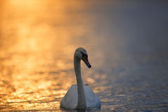 Swan on Sunset Coloured Water Stock Photo