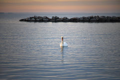 Swan in sunset Royalty Free Stock Photography