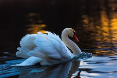 Swan on sunset lake Stock Images