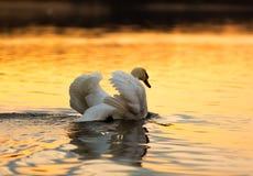 Swan on sunset lake Stock Photography