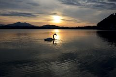 Swan during Sunset Stock Photo