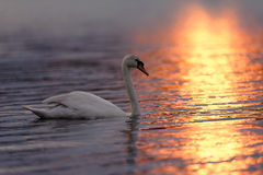 Swan on Sunset Lit Water Stock Images