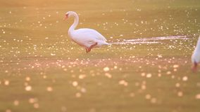 Swan in the sunset steps on the lawn. Breath of autumn stock video footage