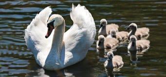 Swan, Swan Babies, Baby Swans Stock Image