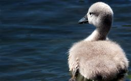 Swan, Swan Baby, Baby Swan, Lake Stock Photos