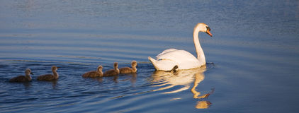 Swan swan family. Swan family early in the morning Royalty Free Stock Photo