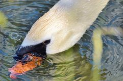 Swan, Swan Head, Water Bird, Bird Stock Image