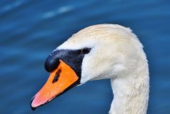Swan, Swan Head, Water Bird, Bird Stock Photos