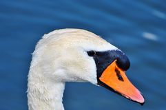 Swan, Swan Head, Water Bird, Bird Royalty Free Stock Photography