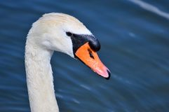 Swan, Swan Head, Water Bird, Bird Royalty Free Stock Image