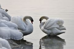 The swan. Is a large aquatic bird closely related to geese and ducks.  is known for it`s fierce temperament. he swan is found on both sides of the Equator Stock Photography