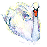 Swan. Swan Watercolor drawing Stock Photo