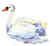 Swan. Swan Watercolor drawing. White swan in the water on white background royalty free illustration